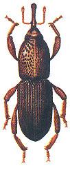 Житна гъгрица
