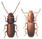 Ръждиво-черен брашнен бръмбар